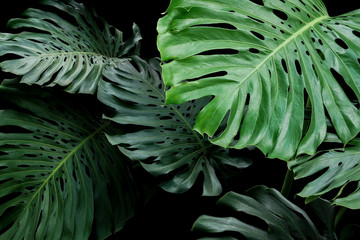 Tropical leaves exotic floral pattern of split leaf philodendron Monstera (Monstera deliciosa) the forest foliage plant on black background.