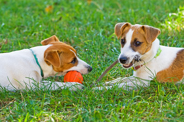 Jack Russell playing in an orange ball