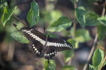 Mariposa posada en hoja, flor piedra papilionidae