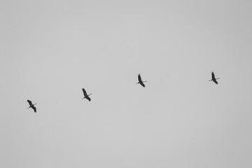 Zugvögel Gänse