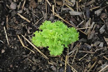 salade batavia automne potager