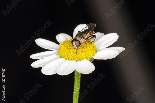 Insecte Hymenoptere Guepe Sur Fleur Blanche Stock Photo And Royalty