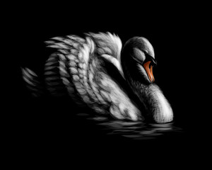Portrait of a white swan on a black background