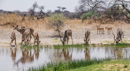 Kudu Herd Drinking