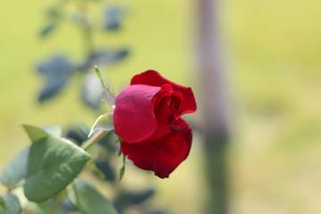 Single rose in the garden