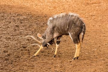 Nyala Bull Antelope