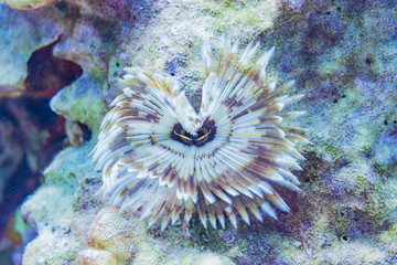 Feather Duster in coral reef