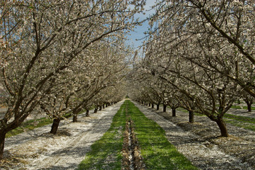 Almond Orchard in bloom, green path and fallen white petals, Fresno, California