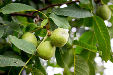 Green nuts reach on the tree. Healthy walnuts_