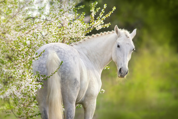 Beautiful white horse in spring blossom
