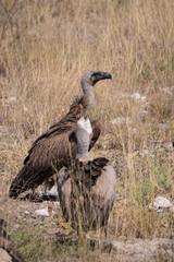 Vultures in Etosha National Park, Namibia