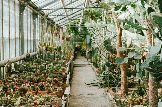 Cactus. Cacti lover. Various cactus in a glass greenhouse for protection.