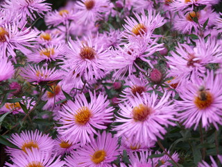 Violet autumn flowers, meadow of Alpine aster on the natural background.