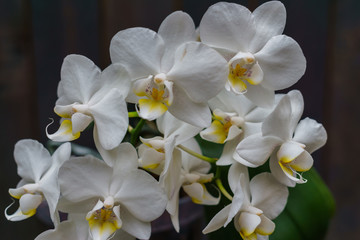 White orchid in a pot, against a background of dark boards. Natural background and design element.