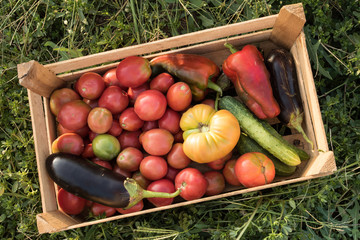 Peasant family collects crop of vegetables from infield. Tomatoes, aubergines, sweet peppers, cucumbers in wooden box. Concept of vegetarian, environmentally friendly food