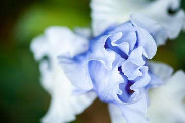 Close up pétales d'iris bleu