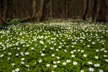 Anemone nemorosa flower in the forest in the sunny day. Wood anemone, windflower, thimbleweed. Fabulous green forest with blue and white flowers. Beautiful summer forest landscape.