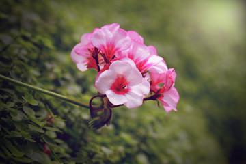 geranium flower blooming at rainy season