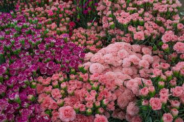 Multiple varieties Carnations in Dounan Flower Market