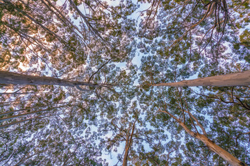 Treetops and canopy at the Boranup Karri forest near Margaret River in the South West region of Western Australia, Australia.