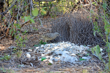Australian Great Bowerbird, Chlamydera nuchalis, decorating a bower in the Boodjamulla National Park, north west Queensland. Makes an avenue style bower.
