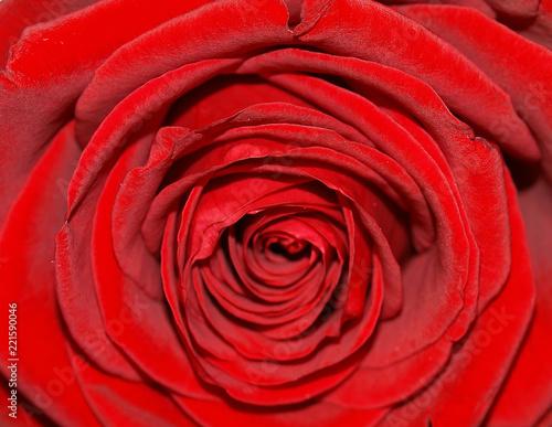 Red Rose Flower Background Image