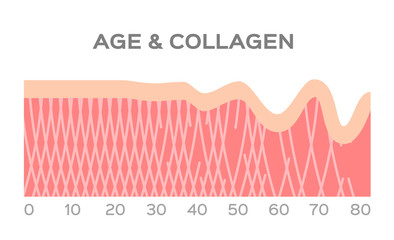 collagen in younger skin and aging graphic vector / age