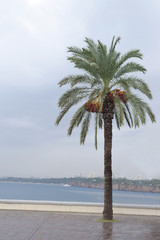 One date palm on the background of the sea, cloudy weather, horizon, Antalya, Turkey