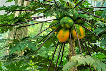 Papaya tree with ripe and raw papaya growing in the green house, Spring in DC USA.