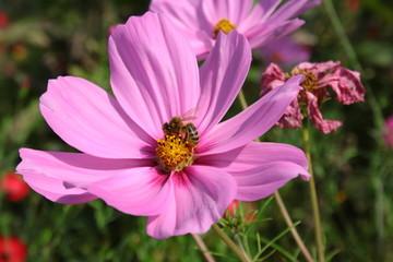 Fond de hotte en verre imprimé Univers Bee on a pink cosmos flower