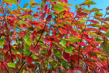 Red, yellow, green leaves on a tree against a blue sky. Autumn landscape. Warm tones