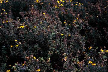 Bush of Yellow Flowers