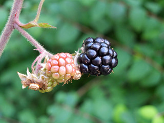 close up of natural wild blackberries on a bush in a forest setting