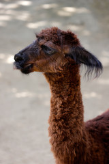 Head and neck view of domesticated Alpaca (Vicugna pacos) species of South American camelid
