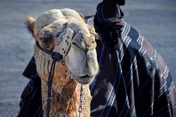 The muzzle of a camel close-up. Entertainment for tourists near Jerusalem in Israel, riding a camel.