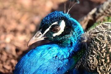 Close up head shot of an Indian peacock (pavo cristatus)