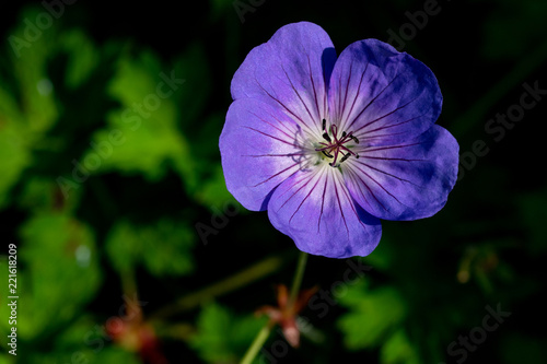 Lilac purple geranium Rozanne (Gerwat) also known as the