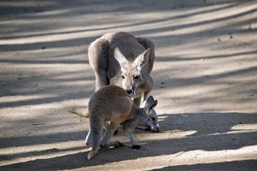 red kangaroo and joey