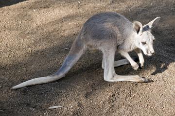 joey red kangaroo