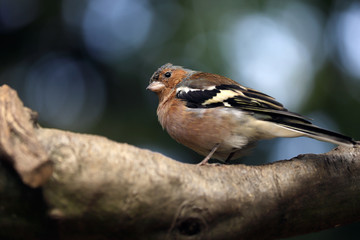 Close-up of male common chaffinch (Fringilla coelebs) on the tree branch