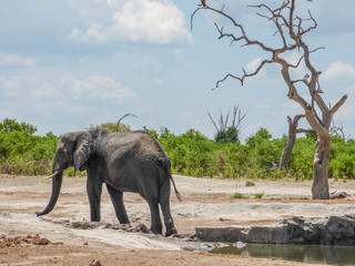 African elephant in natural habitat, Botswana