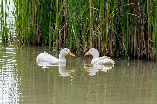 Two Pekin white ducks looking at each other nearly forming a heart shape with their beaks