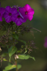 FLOWERS - Phloxes on a green background
