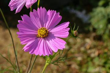 Cosmeya - beautiful garden flowers