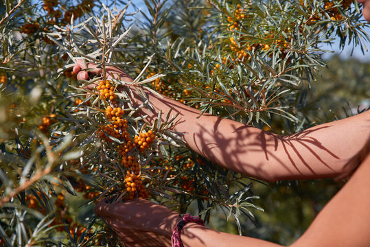 Branches of sea buckthorn trees with bright ripe berries during harvest on a warm Sunny day