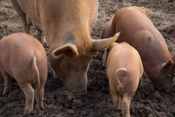 Tamworth pigs in a muddy pigpen on a farm