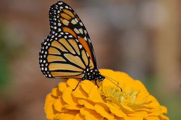 Monarch butterfly on a flower