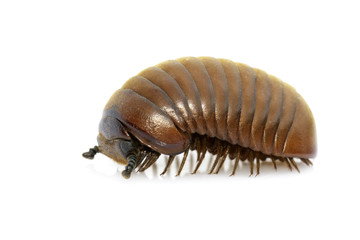 Image of pill millipede(Oniscomorpha) isolated on a white background. Glomerida. Insect. Animal.