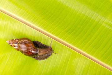 snail on the  banana leaf