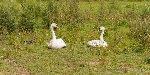 Two swans looking at each other while resting in grass